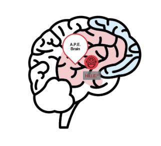 Large A.P.E. Brain